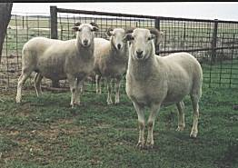 maternal behaviour in sheep The most important features of the behaviour of sheep are their marked sociality and the bond formation between mother and young sheep show a strong need to stay.